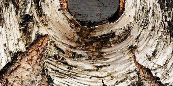 High-Quality Bark Textures #2. Japanese Cherry Birch